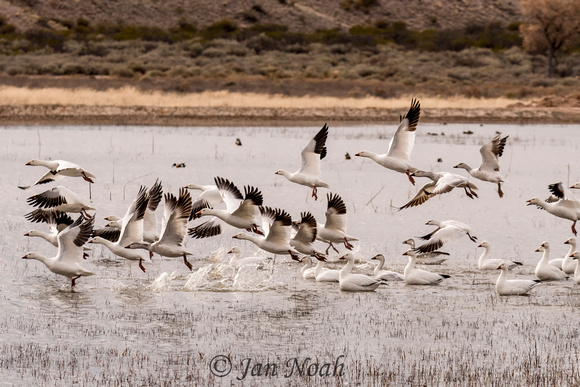Snow Geese Lift Off